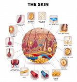 pic of fat cell  - Skin anatomy in the round shape detailed illustration - JPG