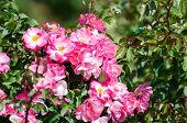 stock photo of rosary  - Roses - JPG