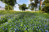 picture of bluebonnets  - Bluebonnets on display in rural Texas on a sunny spring afternoon - JPG