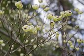 image of dogwood  - Close up a branch of tender white Dogwood tree flowers opening up their petals in Spring time - JPG