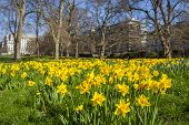 stock photo of daffodils  - The Daffodils in Green Park during Spring time - JPG