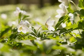 stock photo of windflowers  - wallpaper of close up of white windflower with selective focus and shallow DOF - JPG
