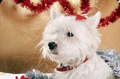 stock photo of christmas dog  - White puppy with christmas garland in Christmas - JPG