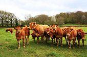 Wet Limousin Calves