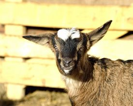stock photo of baby goat  - Baby Goat portrait at farm in early spring - JPG