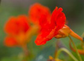 picture of nasturtium  - Beautiful nasturtium flowers blooming in garden - JPG