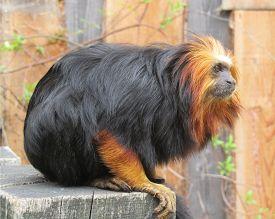 foto of lions-head  - Beautiful rare golden - JPG