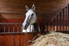 stock photo of feeding horse  - White horse eating hay in the stable - JPG
