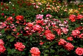stock photo of garden eden  - Rose Garden - JPG