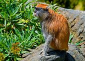 Patas monkey sitting on the rock