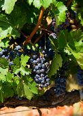 Wine grapes on the vine in Napa Valley