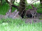 Wild Rabbit Family