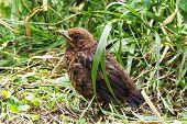 Blackbird Young