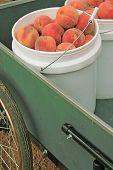 Buckets Of Fresh Peaches
