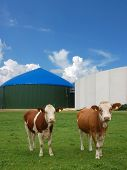 Two cows in front of a biomass energy plant