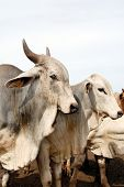 picture of zebu  - Closeup of zebu cattle - JPG