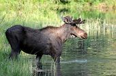 Wild bull moose stepping into a swampy lake in the Glacier National Park in Montana, northwestern US