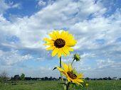 Sunflower Vast Sky