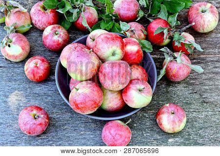 Fresh Red Apples Harvest Of