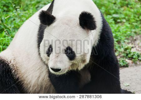 Giant panda in park animal