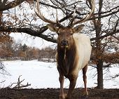 stock photo of bull rushes  - Charging male bull elk in the wild - JPG