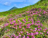 Rhododendron. Mountain Landscape With Pink Rhododendron In Summer poster