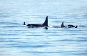 Pod Of Orca Killer Whale Swimming, With A Small Baby Calf Whale Following At The Back, Victoria, Can poster