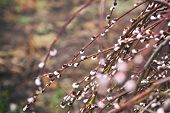 Pussy-willow branches with catkins poster