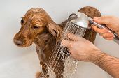 Cocker Spaniel Dog Taking A Shower With Shampoo And Water poster