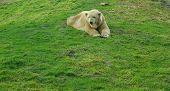 Icebear no jardim zoológico