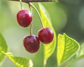 Ripe Cherry Berries On A Branch In Green Foliage poster