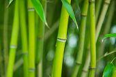 A Bamboo Grove.