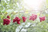 Ripe Fruits Of Red Schizandra With Green Leaves Hang In Sunny Rays In Garden. Red Schisandra Growing poster