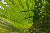 Line Texture. Line Texture Palm Green Leaf. Palm Background.nature Leaf Background. Close Up Of Palm poster
