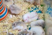 Cute Innocent Baby Gray And White Roborovski Hamsters Sleeping Tight On Sawdust Material Bedding. Ho poster