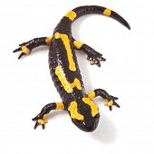 poisonous animal fire salamander with bright yellow orange warning colors beautiful toxic amphibian