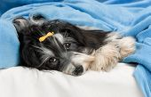 Cute Havanese Dog In Bed