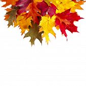 Border of colored falling leafs quercus rubra on white background