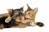 image of cat dog  - Puppy With A Cat in studio on a neutral background - JPG