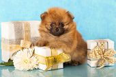 stock photo of miniature pomeranian spitz puppy  - miniature pomeranian spitz puppy and New Year gift - JPG