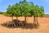 flock of sheep under fig tree shadow on summer hot day in Formentera Ibiza
