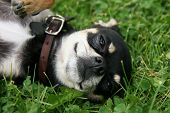stock photo of applehead  - a cute chihuahua puppy laying in the grass - JPG