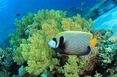 Tropical Fish on Coral reef: Emperor Angelfish