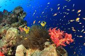 Coral Reef, Fish, Anemone, Underwater in Red Sea