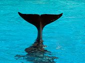 Killer Whale\'S Tail