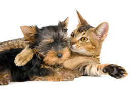 stock photo of cat dog  - Puppy With A Cat in studio on a neutral background - JPG