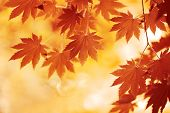 stock photo of october  - Autumn maple leaves background - JPG
