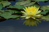Beautiful Yellow Water Lily