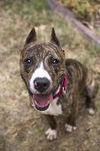 foto of pitbull  - A close up top view of a beautiful brindle pitbull