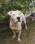 foto of pitbull  - A deaf white pitbull dog posing by the bushes for his picture